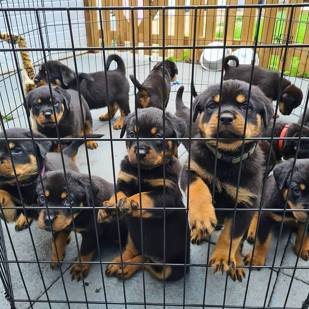Rottweiler Puppies For Sale - Trivandrum